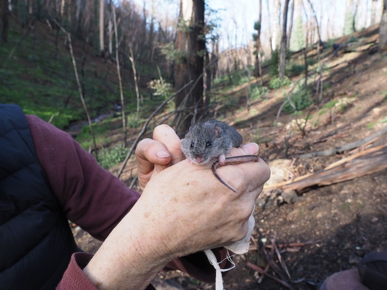 Endangered smoky mouse found alive