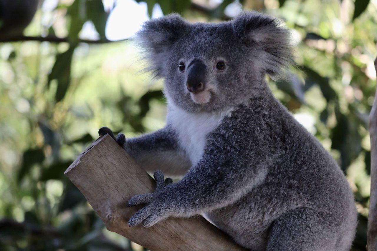 koala_wombat_friendship_2
