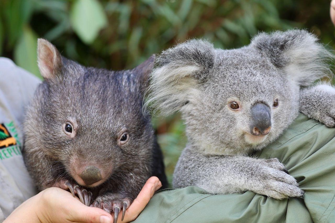 A koala and wombat s friendship