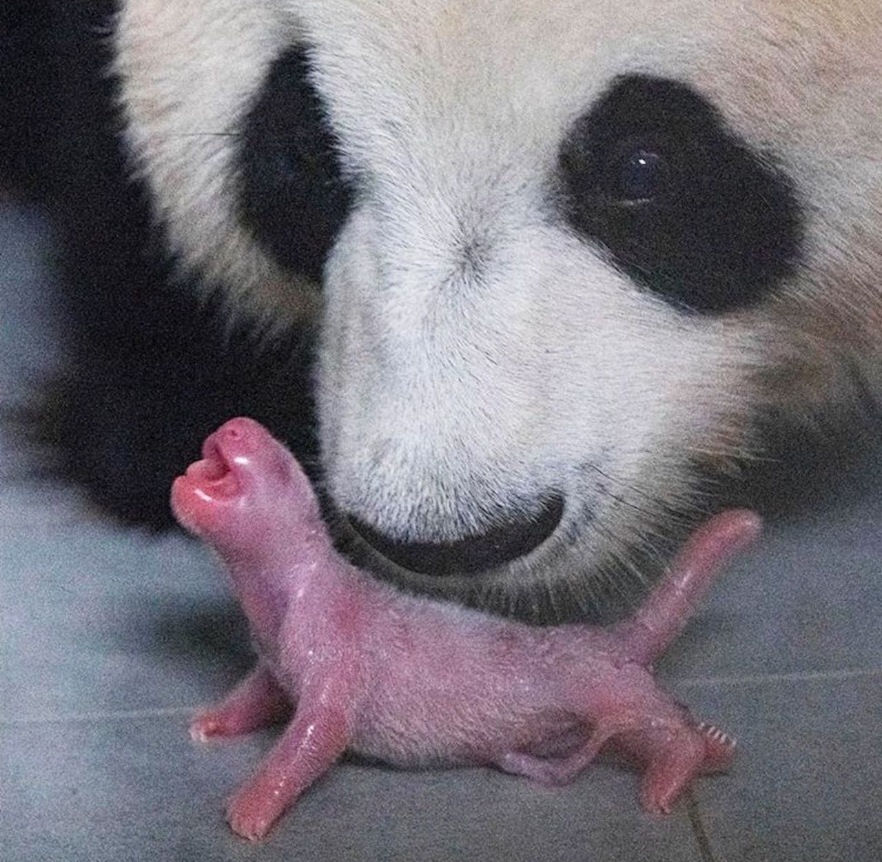 Birth of baby panda in Korean zoon