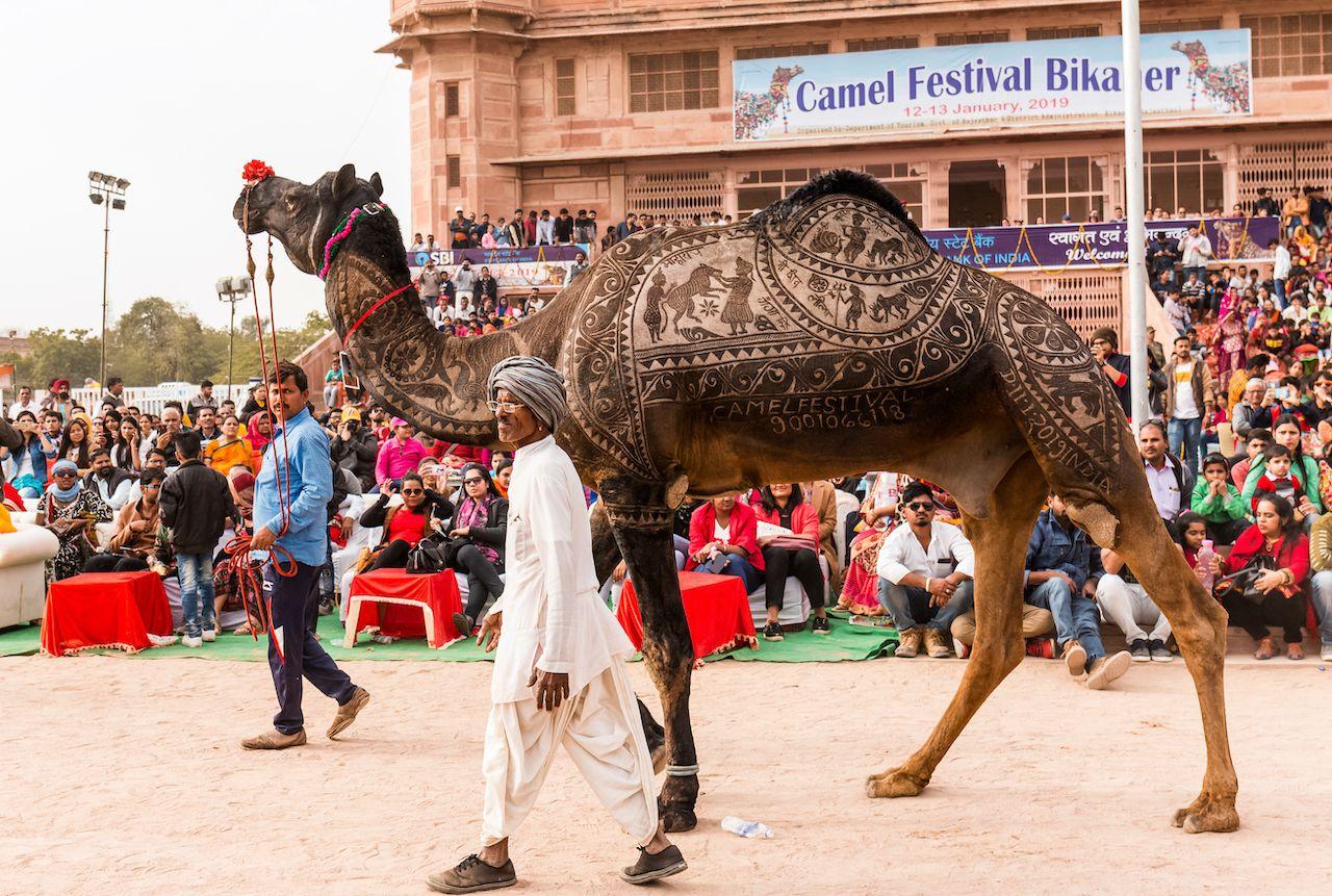 Camel festival 4