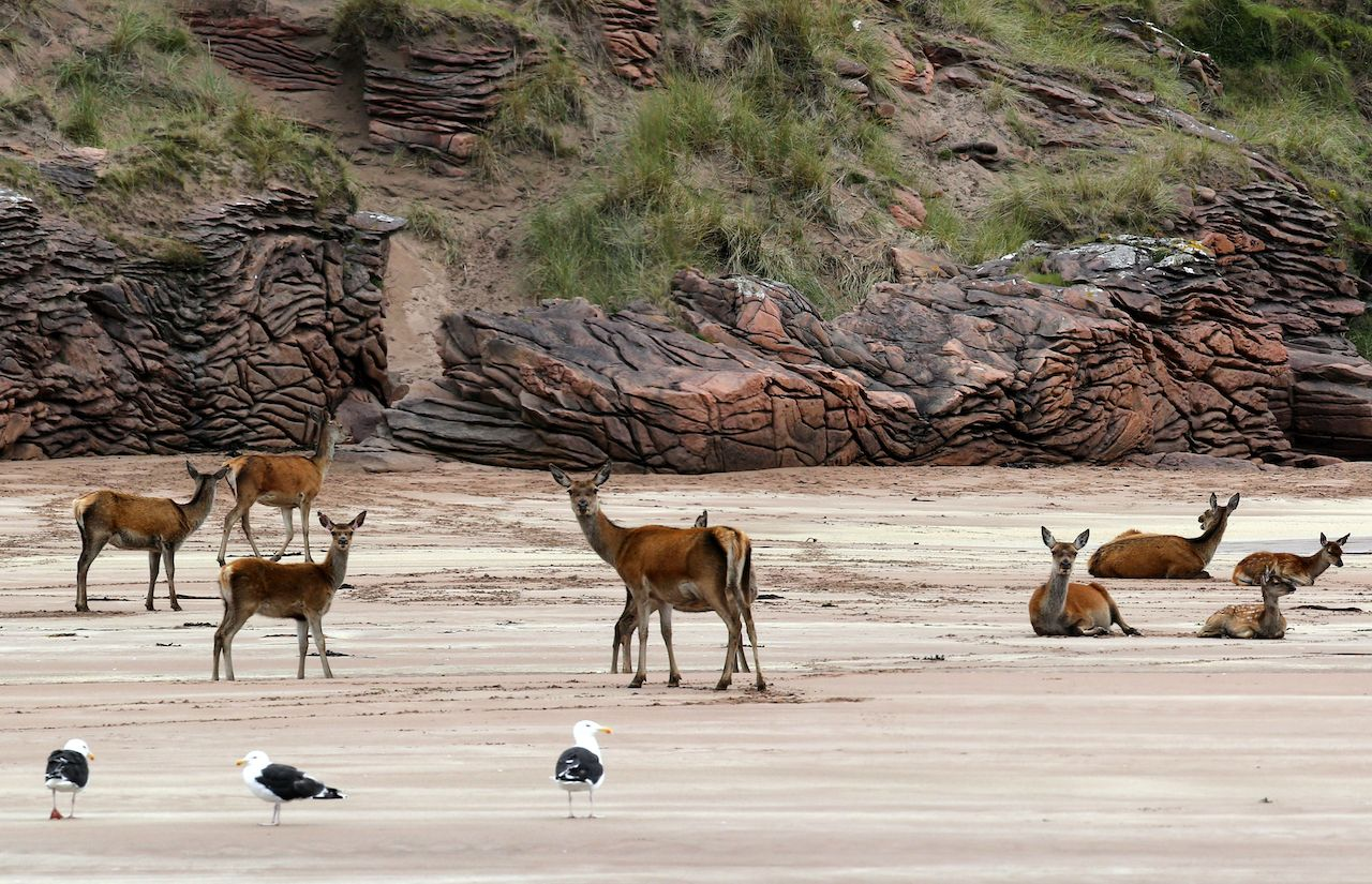 Deer and gulls on the island of Rum, Scotland