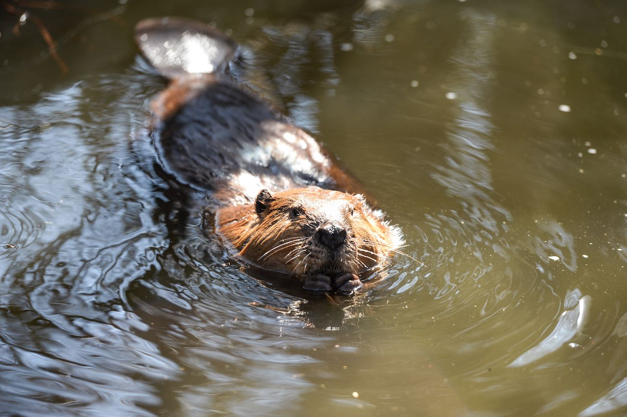 Beaver swimming in a pond, Maine