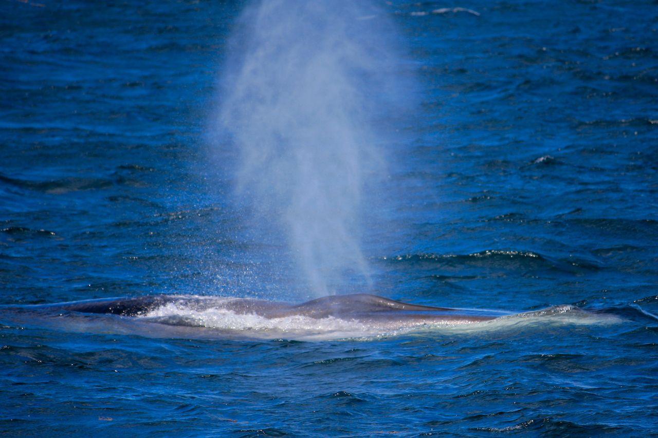 Minke whale in bright blue ocean off the coast of Maine