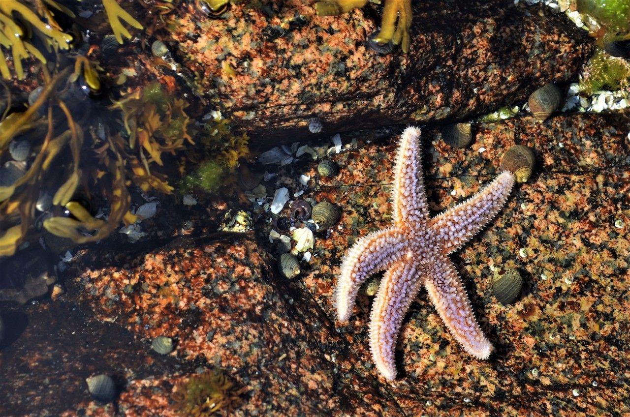 Starfish of Acadia