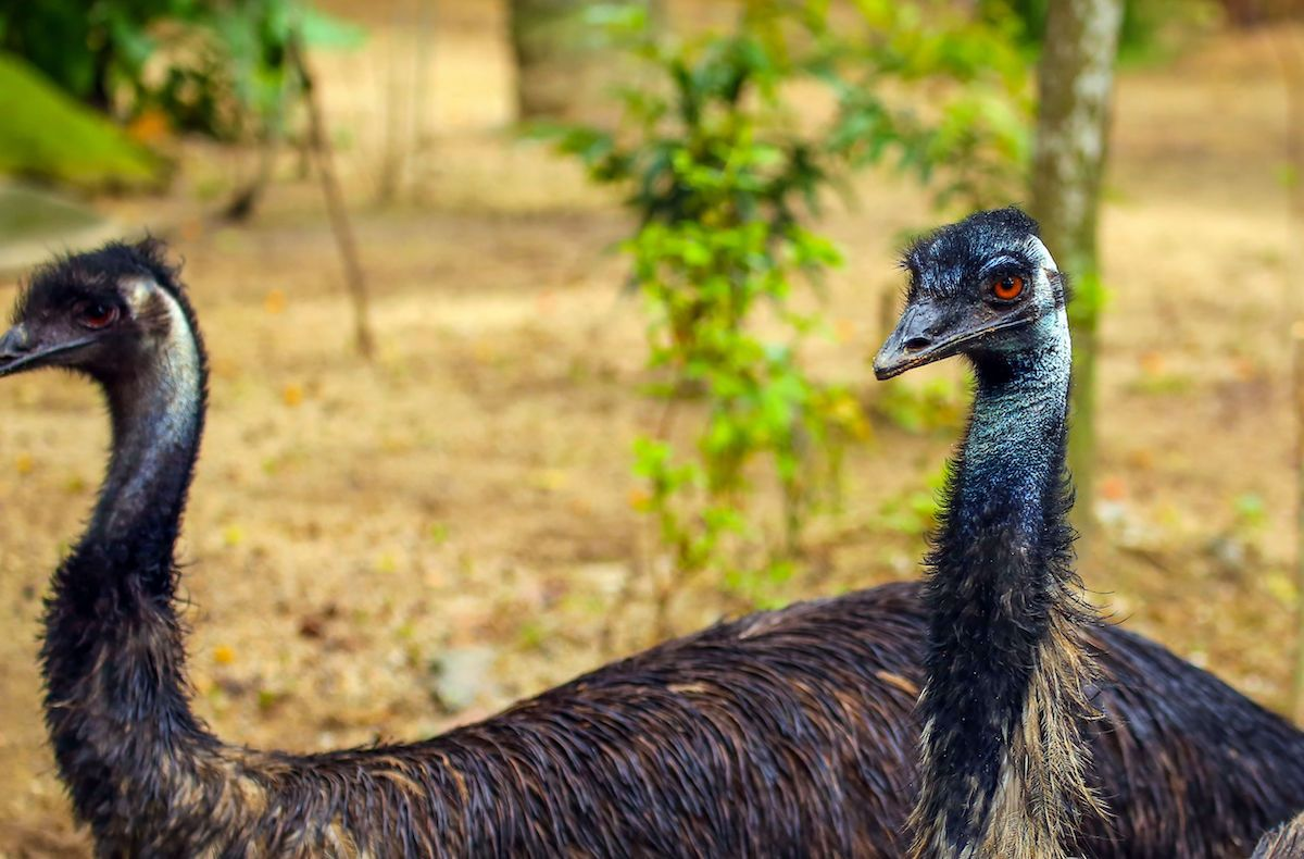 Two mischievous emus have been banned from an Australian hotel