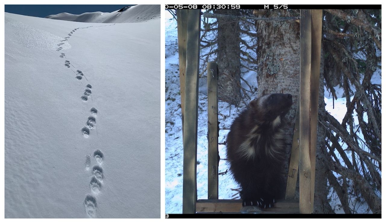Wolverine tracks and individual spotted in Mount Rainier National park