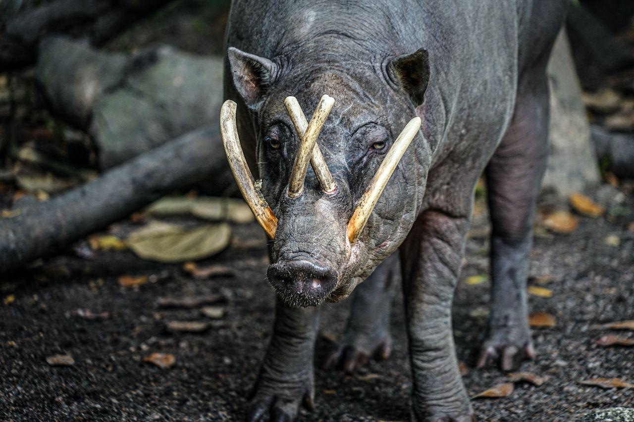 babirusa pig with teeth