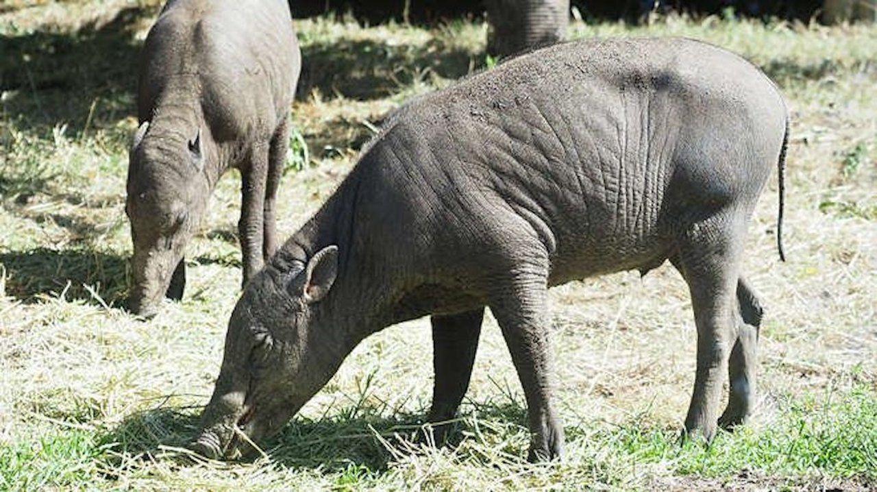 two babirusa pigs at London Zoo