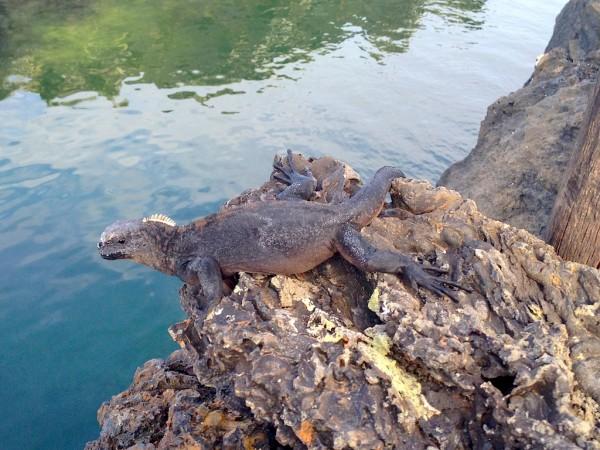 29 reptil en roca