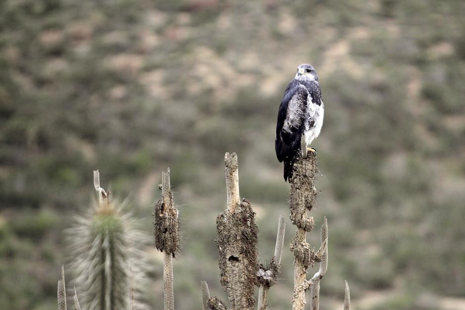 Águila Chilena en el Parque Nacional Fray Jorge, IV Región. Crédito: Nosotros los Chilenos