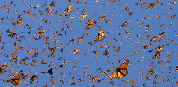 mariposa monarca 02