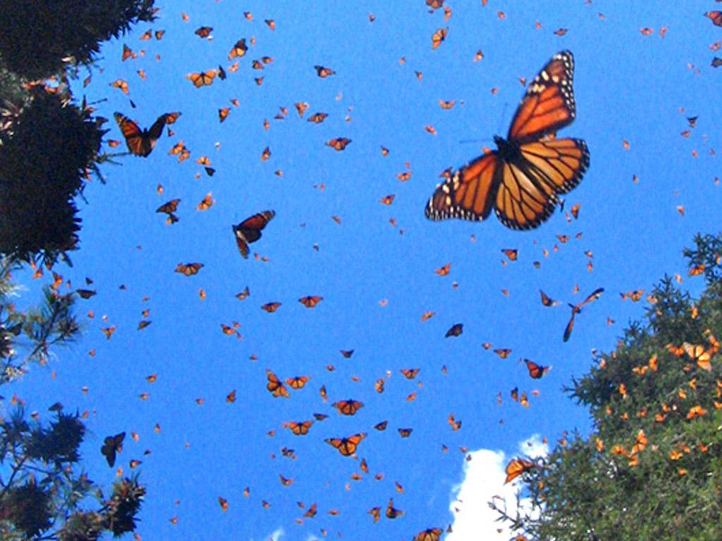 10 datos increíbles sobre la mariposa monarca, reina de Michoacán
