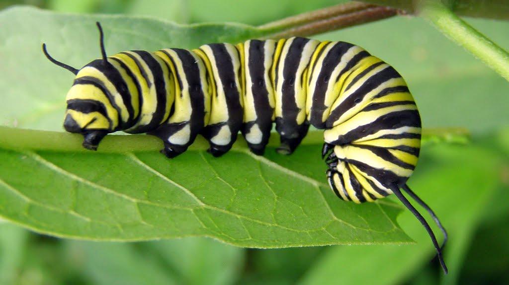 mariposa monarca 06