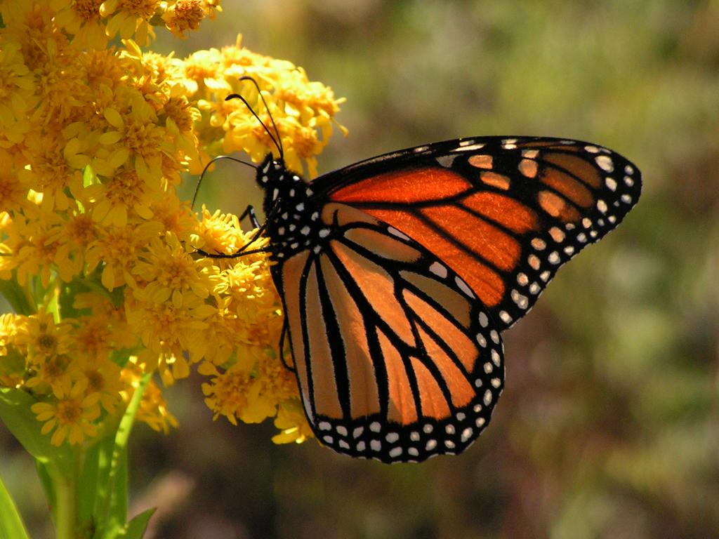 mariposa monarca 07