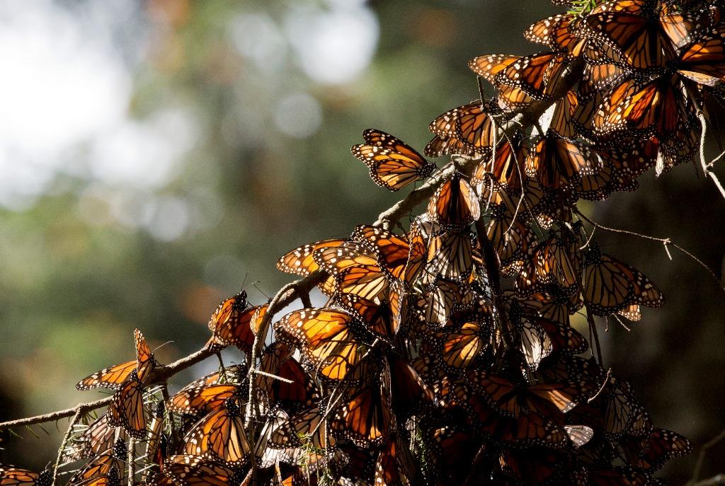 mariposa monarca 08
