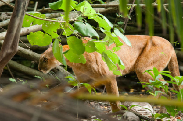 animales de Costa Rica en peligro de extinción puma