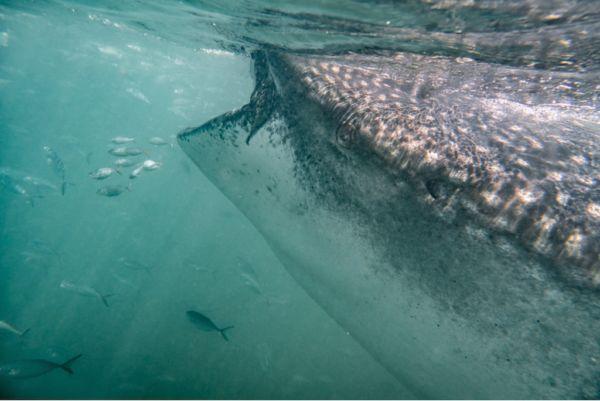 Holbox 11 tiburón ballena
