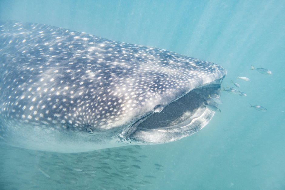 Holbox 10 tiburón ballena