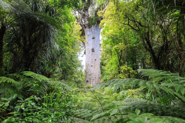 bosque Waipoua bosques hermosos bosques encantados