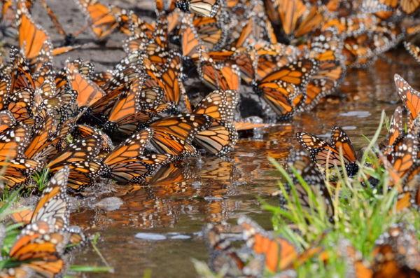 mariposas monarca en México migración de las mariposas monarca