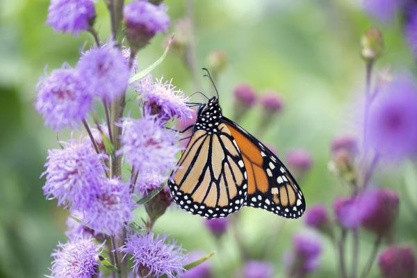 migración de las mariposas monarca