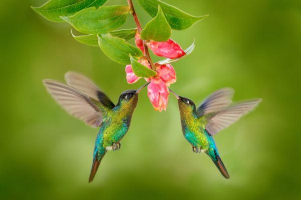 cómo atraer colibríes