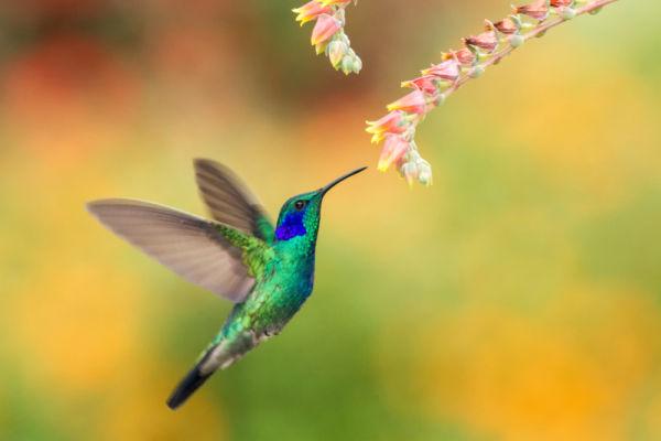 significado del colibrí
