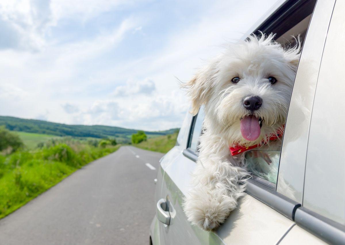 Todo lo que necesitas saber para viajar con perros en México
