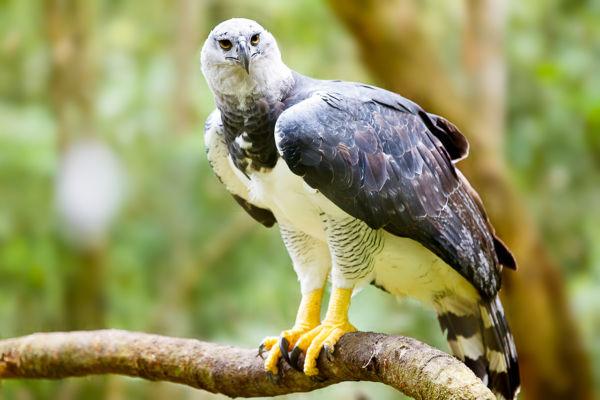 águila harpía de panamá