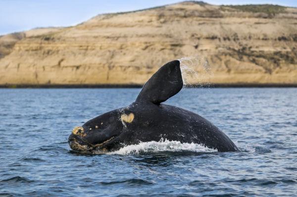 ballenas Puerto Madryn