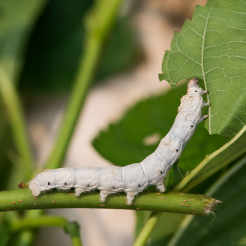 hoja de morera gusano de seda