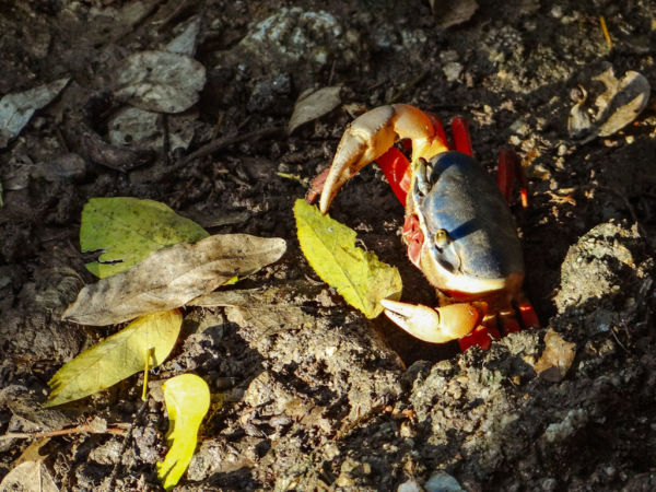 mizontle cangrejos Oaxaca