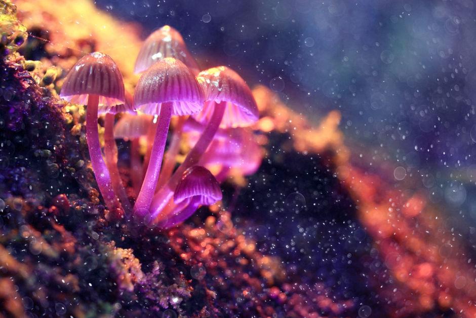 hongos alucinógenos plantas maestras