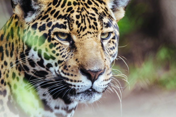 La importancia del jaguar en el México prehispánico