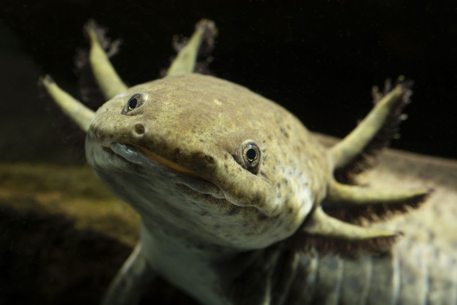animales de nombre náhuatl ajolote Axolotl