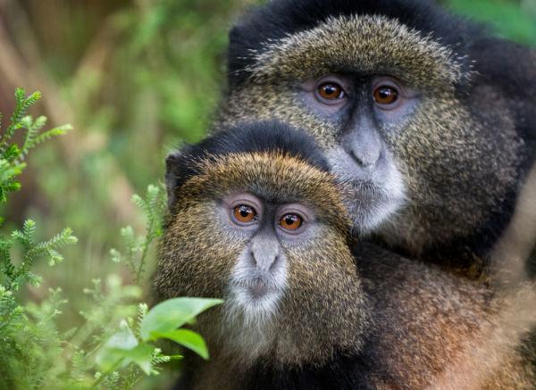 monos en Ruanda
