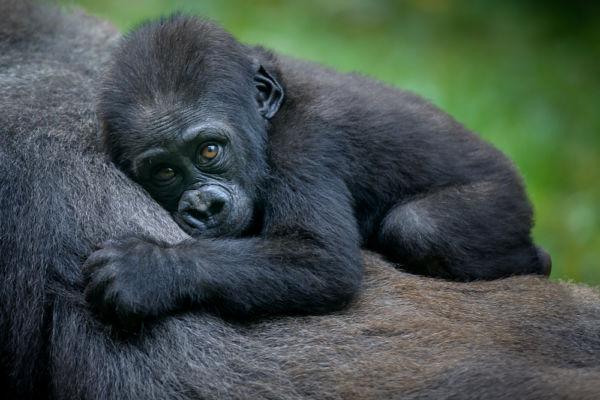 Gorilas viajar a Ruanda