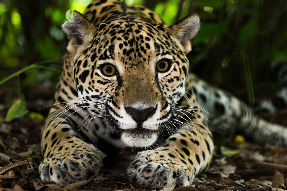 jaguar ecoturismo