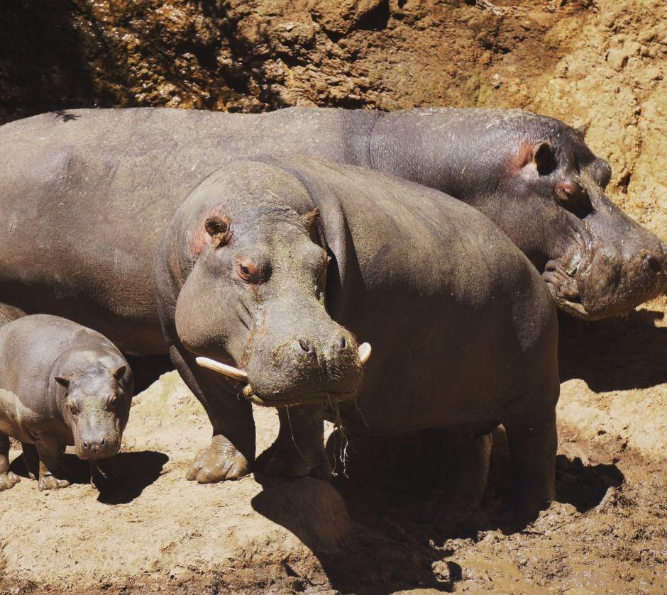 hipopotamos en Bioparque Estrella