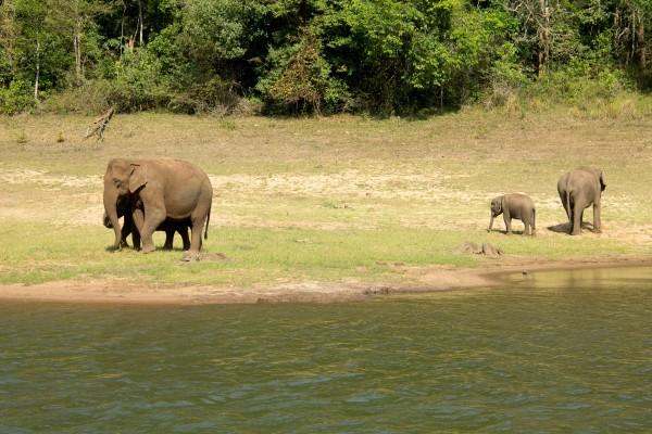 Os elefantes selvagens na reserva Periyar: é bem melhor assim!