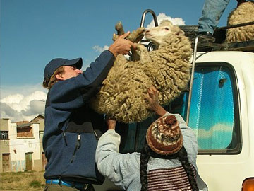 loading sheep