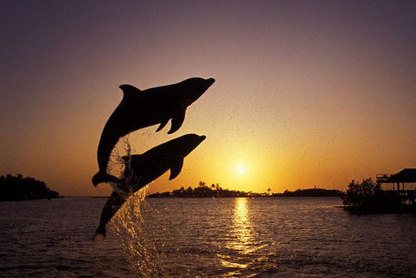 Jumping dolphins at sunset