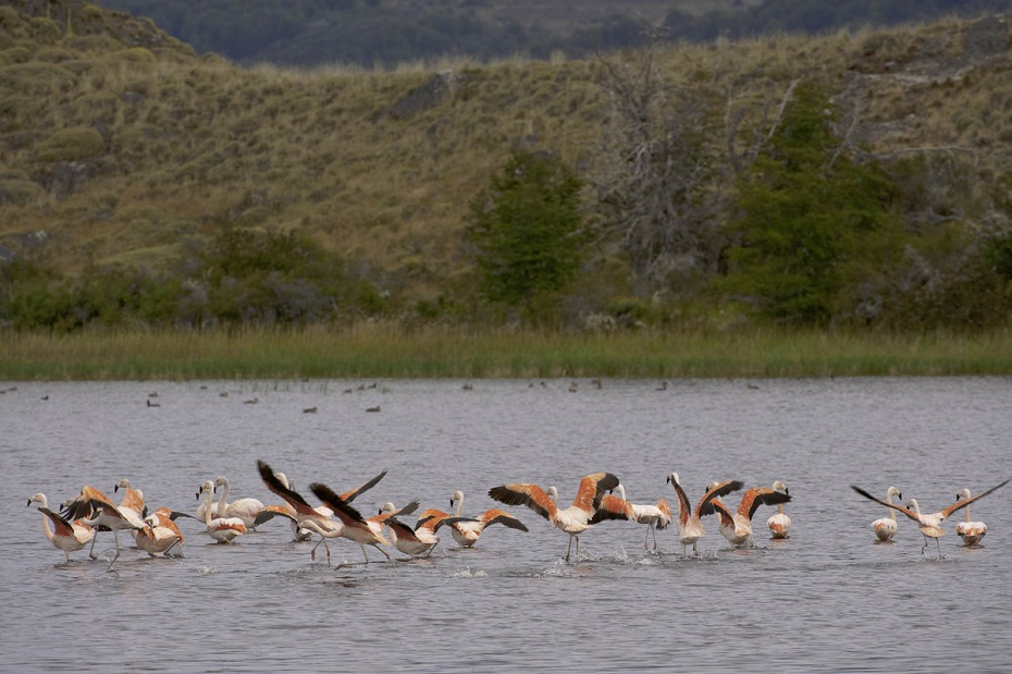 Flamingos in Aysen Headwaters Threatened by Hidroaysen Dam Project