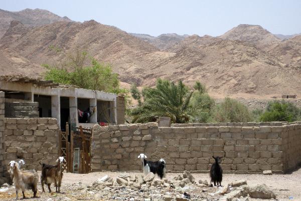 Goats in Assalah, Dahab