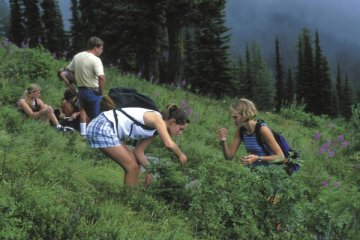 Big Mountain hikers find huckleberries on the Danny On Trail, Whitefish, Montana