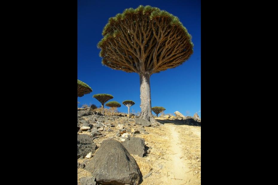 Dragon's blood tree on Socotra Island