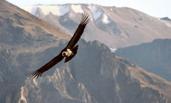 Condor over Peru's Canon de Colca