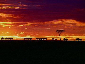 Wildebeests in a Kenyan sunset