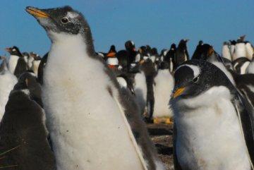 Rockhopper penguin chicks, Falkland Islands